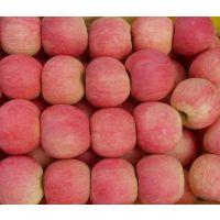 山东红富士苹果产地 苹果产地批发 型号75-100价格0.6-1.2元1斤 甜 脆 颜色好 质优价廉