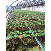 晨旭苗木园艺场(在线咨询)|红颜草莓苗|红颜草莓苗防治