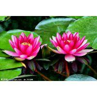 供应什么时候是睡莲种植的季节|栽培睡莲种苗的季节|种植睡莲的方法|睡莲种子的种植季节