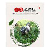 湖南宁乡专业土花猪养殖 优质土猪 价格低廉 农场供货