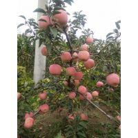 壹棵树 盆栽苹果树 矮化苹果苗基地 价格合理