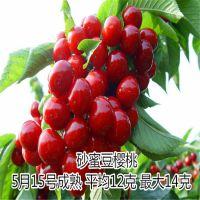 早大果樱桃哪里有卖 泰东园艺场常年供应各种果树苗 樱桃苗