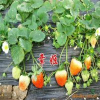 哪里有卖草莓苗 泰达园艺场草莓苗