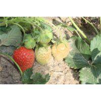 甜宝草莓苗哪家好,甜宝草莓苗,龙鑫苗木