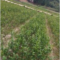 大叶丁香50-60cm/大叶丁香2000棵