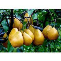 梨生产基地、梨零售批发基地、梨价位