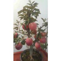 山东广大园艺场供应苹果树苗品种烟富苹果苗 寒富苹果苗 矮化苹果苗