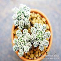 白鸟迷你多肉植物仙人掌办公室植物绿植创意花卉盆栽大量从优
