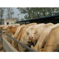 鲁西黄牛养殖、万隆畜牧养殖、鲁西黄牛养殖利润