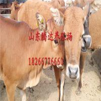 黄牛牛犊价格牛犊多少钱一头小肉牛犊怎么卖,肉牛犊养殖