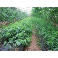 香椿树苗哪里有 香椿苗批发供应