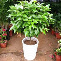 室内大型植物平安树 幸福树盆栽 平安树 观叶植物 室内盆栽