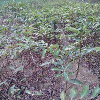 出售砧木用黑枣树苗 嫁接砧木价格 山东黑枣树苗种植基地