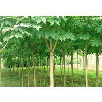 七叶树价格 七叶树价格更新 七叶树价格报价 七叶树价格参考