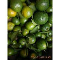 预售【青皮蜜桔、冰糖桔、沙糖桔】清甜可口 30亩 约30万斤