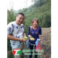 新品种李子苗,的李子苗品种,脆红李子苗