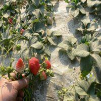 批发优质甜查理草莓苗 火热销售 预购从速 99%高成活率
