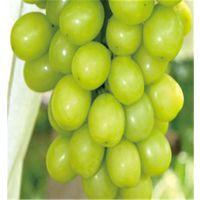 阳光玫瑰葡萄苗亩产多少斤 泰安润佳农业品种纯 价格优惠 产量高