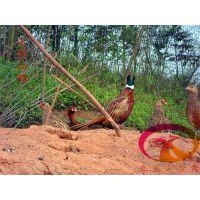 供应河源野鸡苗-龙川珍珠鸡苗-全年为您提供种苗