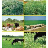 养牛牧草种子哪里有卖的