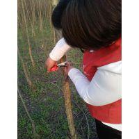 地径1-5公分杨树苗处理
