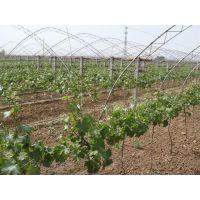 哪里有葡萄苗 葡萄树苗哪里便宜
