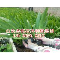 青州市蛇鞭菊种植基地