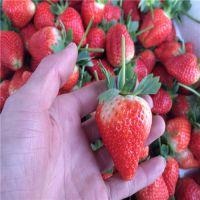 广东草莓苗 哪里有组培草莓苗 组培草莓苗产量如何
