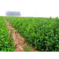 常年供应常绿苗木大叶黄杨 规格齐全工程绿化苗 质优价廉 欢迎来电咨询
