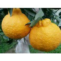 超级晚熟杂柑不知火苗高度50公分别名丑柑苗一级良种