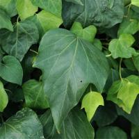 常年供应常春藤 常春藤苗 基地种植 量大优惠 价格从优 庭院绿化苗木 欢迎来电