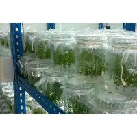 永川蓝莓苗|蓝莓苗购买|百色农业(多图)