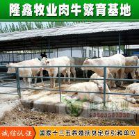 大量出售夏洛莱牛小肉牛犊小犊牛小牛苗小牛崽肉牛价格行情养殖免运费全国包邮