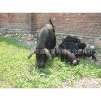 黑土猪养殖场 生态黑猪苗 绿色散养黑土猪 纯粮喂养无生长激素