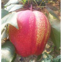 新品种梨树苗 玉露香梨树苗 黄金梨 皇冠梨树苗价格