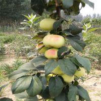 红富士苹果苗高产 数量多 价格低 泰山大地果树园艺场