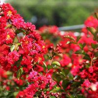 基地苗圃直销 供应紫薇 美国三红紫薇 量大优惠 规格齐全 行道树工程绿化苗木