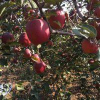 供应云南昭通苹果正宗红富士丑苹果吃情全国一件代发