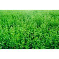 青海哪里有牧草种子墨西哥玉米低价销售18159289756