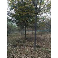 安徽肥西出售米径2-15公分榉树,朴树,水杉,垂槐,大叶女贞,国槐价格图片