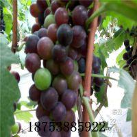出售摩尔多瓦葡萄苗 嫁接摩尔多瓦葡萄苗价格 采摘园温室大棚高产鲜食品种 两年生山东种植基地