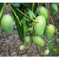 丽江芒果苗批发 18877788851 芒果树苗供应 当年结果南方种植 凯特芒果苗