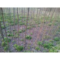 温圳卖米径4公分杨树苗