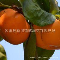 苗圃直销 柿子树苗 日本甜心柿 磨盘柿 牛心柿 嫁接苗 小苗