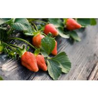 杭州市甜宝草莓苗,仁源农业科技,甜宝草莓苗批发