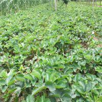 正宗法兰地草莓苗批发 草莓苗哪里便宜