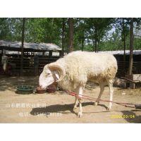 优质小尾寒羊 养殖 小尾寒羊价格山东养殖场
