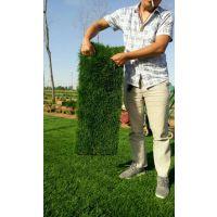河北苗木基地|如何种植草坪|草坪种植技术