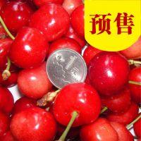 红灯大樱桃树苗 新品种红灯大樱桃树苗 红灯笼大樱桃树苗价格