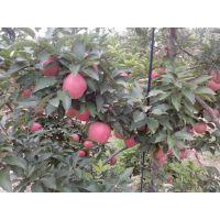 壹棵树 矮化苹果树 红肉苹果苗基地在哪 厂家供应